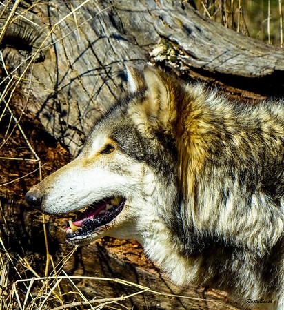 Feb 2018 Wolf Park-15