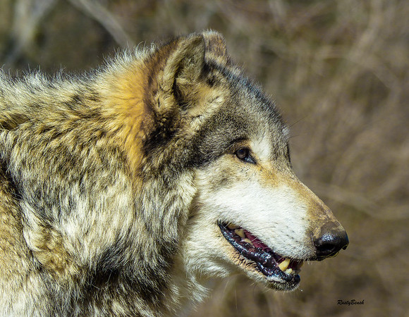 Feb 2018 Wolf Park-9