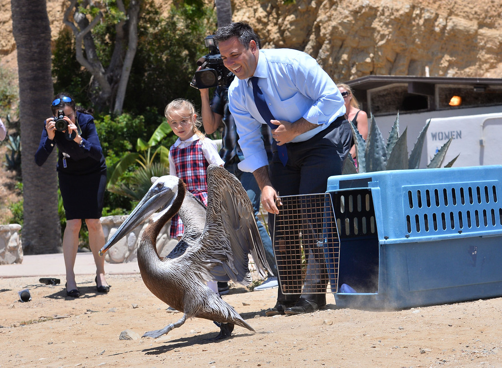 """. L.A. Councilman Joe Buscaino and Marin Marnani, 6, release the pelican named \""""Pink\"""" that was rehabilitated at the International Bird Rescue center. They repaired the bird\'s slashed pouch in a series of surgeries, and today at White\'s Point it was released. Photo by Brad Graverson/The Daily Breeze/ 6-3-14"""