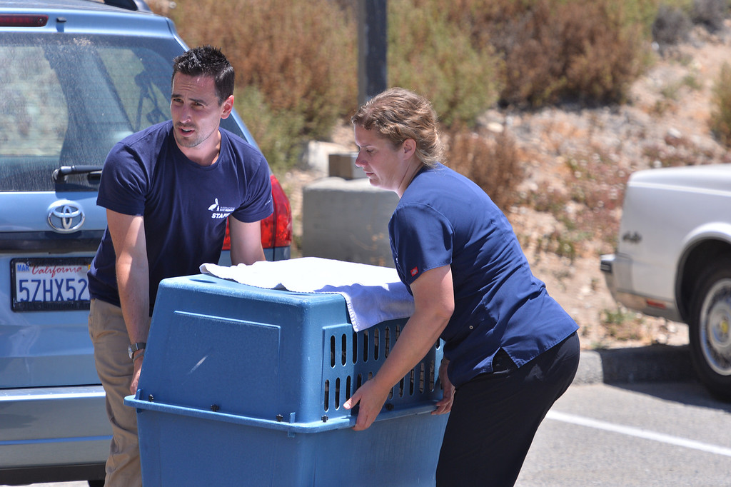 """. Pelican named \""""Pink\"""" is brought to White\'s Point in San Pedro by International Bird Rescue Center personnel. They repaired the bird\'s slashed pouch in a series of surgeries and today at White\'s Point it was released. Photo by Brad Graverson/The Daily Breeze/ 6-3-14"""