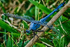 Survivor Dragonfly in Blue and Green
