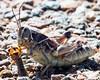 Cannibal Grasshopper