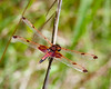 Red Dragonfly in TN