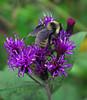 Bee Back on Purple Wildflower