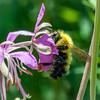 Bee on Bergamont