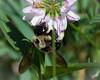 Bumble Macro on Wildflower