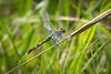Green Dragonfly at Prairie Ridge