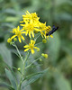 Mud Dauber on Yellow Wildflower