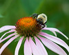 Bumbler on Flower