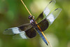 Brown and White Dragonfly