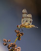 Gold and Brown Dragonfly with Red Eyes