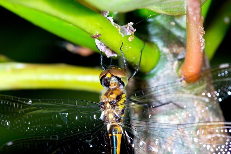 Sydney Hawk Dragonfly - Austrocordulia leonardi