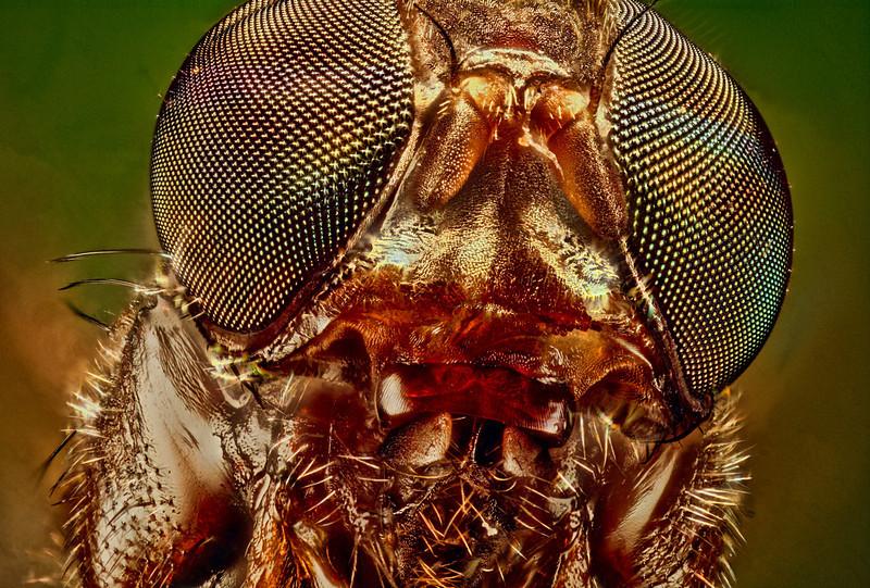 Fruit Fly<br />  10X Magnification<br /> <br />  20th June 2013<br />  Captured using Canon 40D+Bellows+Nikon E Plan 10X/0.25 160/-, 10X, Stackshot Rail@0.015mm steps, 1/5sec, ISO 100, 139 frames, stacked using Zerene, halogen cold lighting.