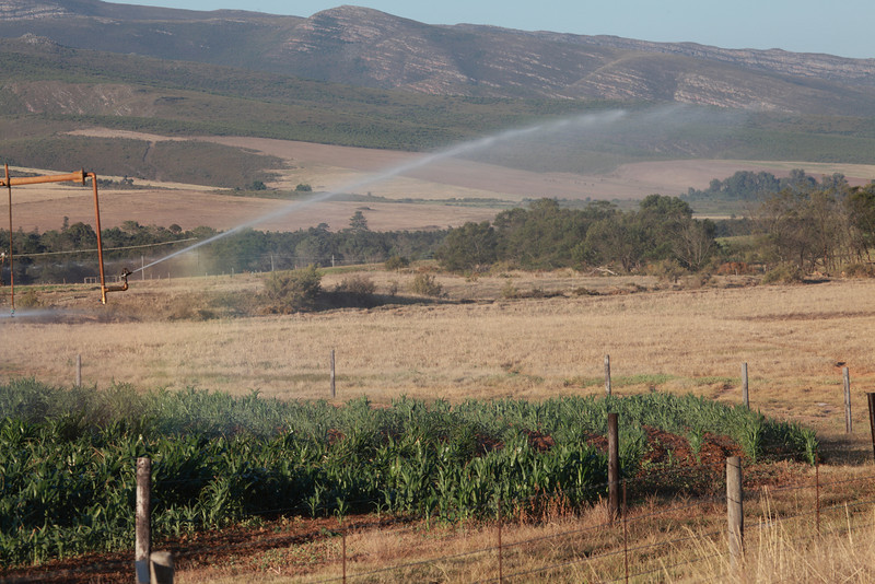 Crops being irrigated  using a centre pivot system with drop sprinklers