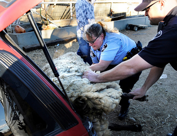 """Boulder County Sheriff's Office Animal Control officer Devra Ferguson, left, and Deputy Seth Poe pull a hog tied sheep from the back of a car near the intersection of Highway 52 and Highway 287 in Boulder County. For a video of the sheep in the car go to  <a href=""""http://www.dailycamera.com"""">http://www.dailycamera.com</a><br /> Jeremy Papasso/Camera"""