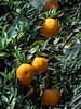 Fresh-oranges,-Ma'ale-Hachamisha-Kibbutz,-Israel
