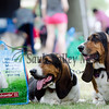 First Lady Frannie, right, and Grover Cleveland, 3 and 4 year basset hounds from Morrison watch the dogs past by Saturday during Sterling's Main Street Dog Days Festival.