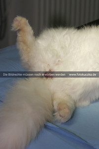 Kastration eines Katers