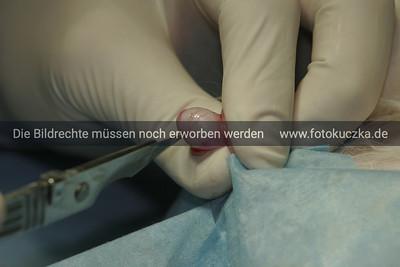 Kastration eines Katers Hoden mit Bauchfell bedeckt