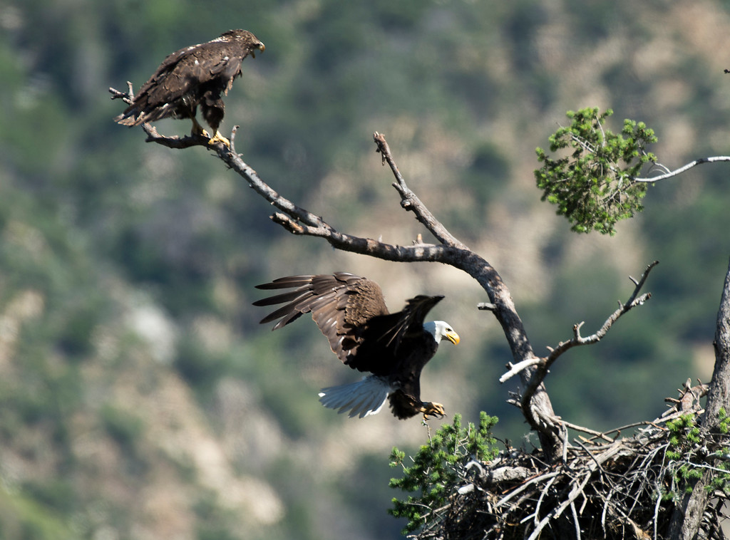 . An adult bald eagle joins the juvenile bald eagle in its nest along Highway 39 near the San Gabriel Dam on Wednesday April 19, 2016. (Photo by Keith Durflinger/San Gabriel Valley Tribune)