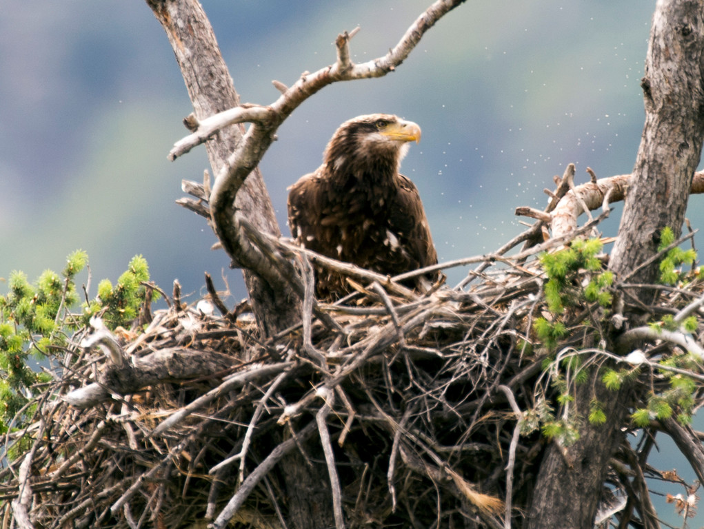 . A juvenile bald eagle in its nest along Highway 39 near the San Gabriel Dam on Tuesday April 19, 2016. (Photo by Keith Durflinger/San Gabriel Valley Tribune)