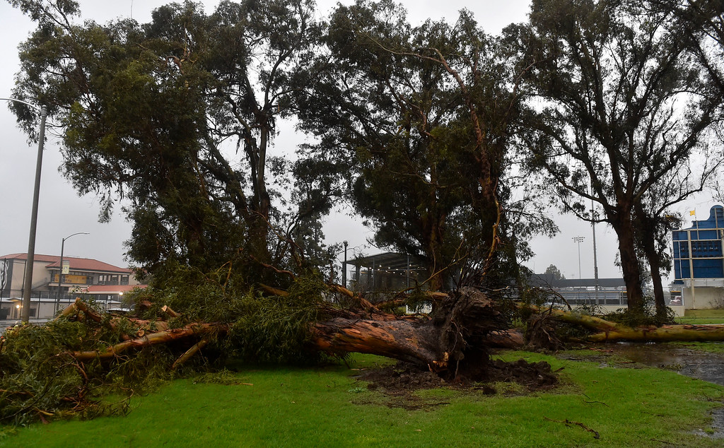 . Multiple eucalyptus trees fell in Recreation Park during the storm in Long Beach, CA on Friday, February 17, 2017. (Photo by Scott Varley, Press-Telegram/SCNG)