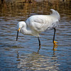 Snowy Egret Food Hunting<br /> Fish Haul Creek Park<br /> Hilton Head Island, SC