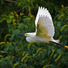 """Cruisin' #2""<br /> Snowy Egret<br /> Cypress Wetlands<br /> Port Royal, SC"