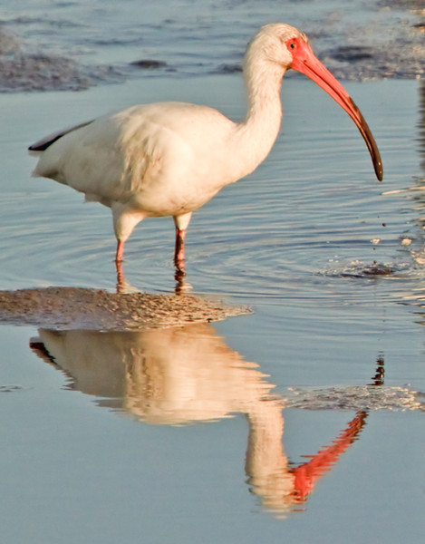 """Mirror-Mirror""<br /> Ibis<br /> Cedar Key, FL"