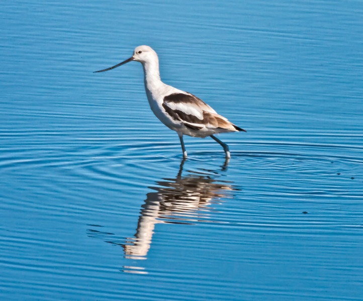 Single Avocet Feeding<br /> Bear Island Wildlife Management Area<br /> Green Pond, SC
