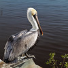 """Dockside Solitude""<br /> Brown Pelican<br /> Georgetown, SC"