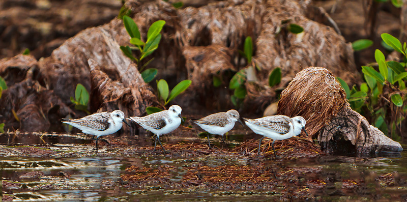 """Follow the Leader""<br /> Dunlins<br /> Haulover Rookery<br /> Merritt Island National Wildlife Refuge<br /> Merritt Island, FL"