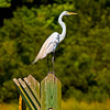 """Lookout Post""<br /> Great Egret<br /> Donnelley Wildlife Management Area<br /> Green Pond, SC"