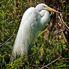 Great Egret<br /> Pinckney Island National Wildlife Refuge<br /> Hilton Head Island, SC