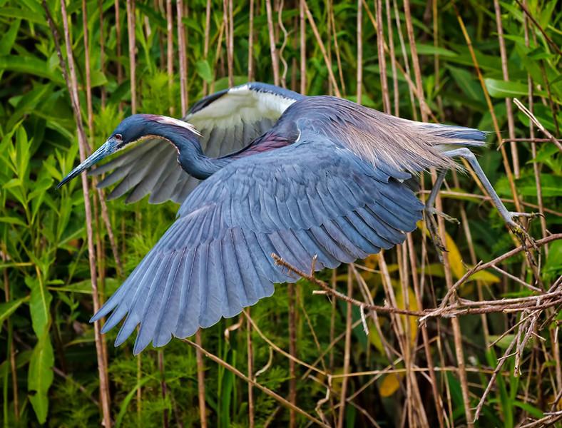 Tricolored Heron in breeding plumage hunting for nesting sticks #1<br /> Cypress Wetlands<br /> Port Royal, SC