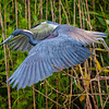 Tricolored Heron in breeding plumage hunting for nesting sticks #1<br /> Cypress Wetlands<br /> Port Royal, SC