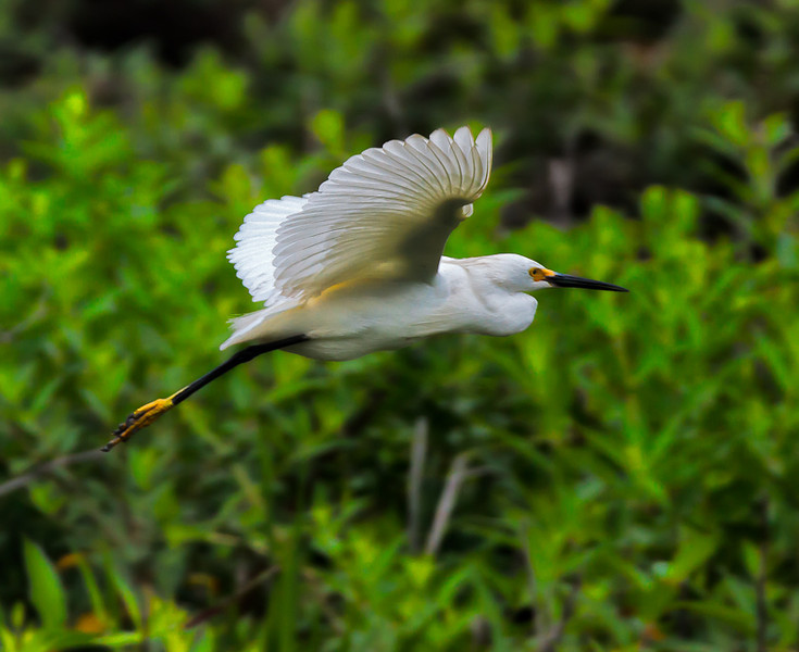 """Cruisin' #1""<br /> Snowy Egret<br /> Cypress Wetlands<br /> Port Royal, SC"
