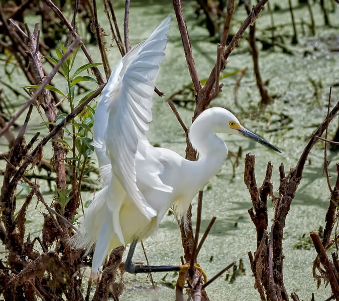 Snowy Egret hunting for nest sticks<br /> Cypress Wetlands<br /> Port Royal, SC