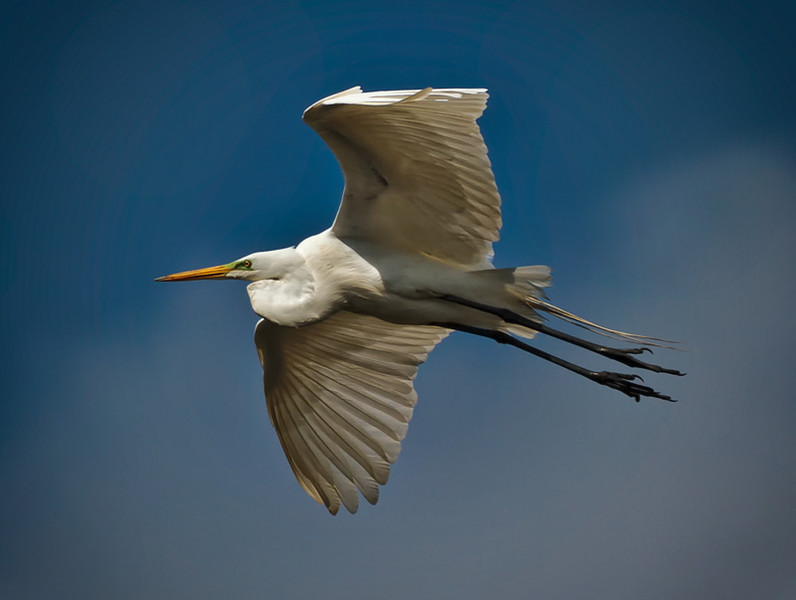 Great Egret flying to find nesting material<br /> Beaufort County, SC