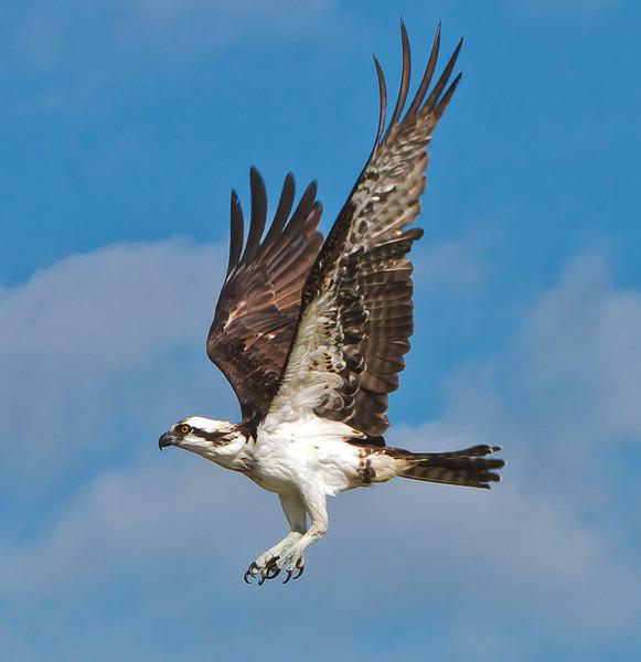 """Talons #1""<br /> Osprey<br /> Canaveral Seashore<br /> Merritt Island National Wildlife Refuge<br /> Merritt Island, FL"
