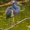 Tricolored Heron #2<br /> Pinckney Island National Wildlife Refuge<br /> Hilton Head Island, SC