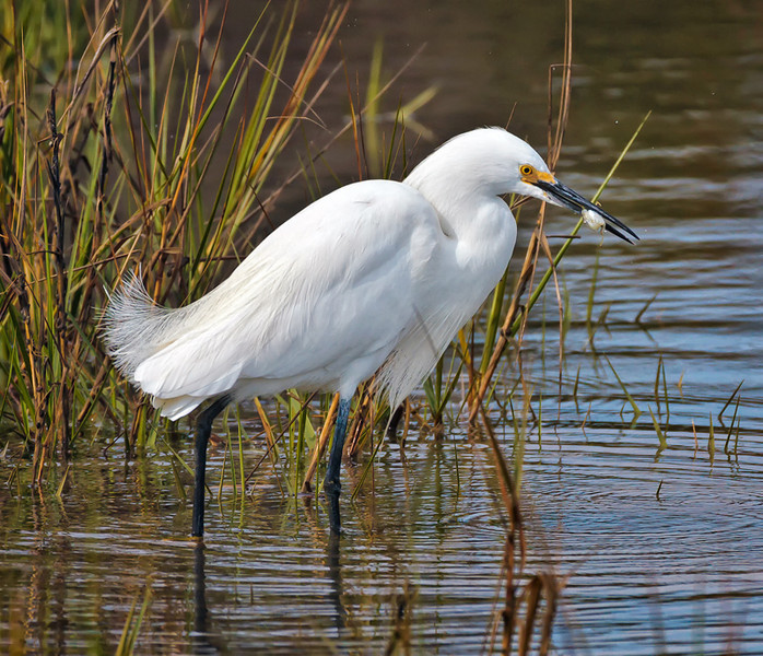 Snowy Egret Feeding<br /> Fish Haul Creek Park<br /> Hilton Head Island, SC