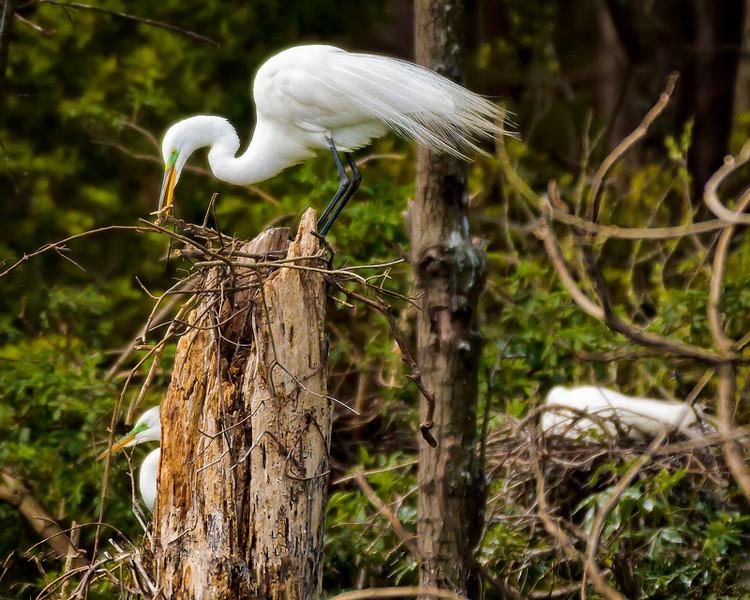 Great Egret Building his nest<br /> Beaufort County, SC