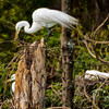 Great Egret Building his nest<br /> Beaufort County, SC