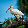 Ibis #2<br /> Pinckney Island National Wildlife Refuge<br /> Hilton Head Island, SC