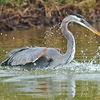 """Bath Time""<br /> Tricolored Heron<br /> Canaveral Seashore<br /> Merritt Island National Wildlife Refuge<br /> Merritt Island, FL"