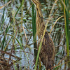 American Bittern<br /> Savannah National Wildlife Refuge<br /> Jasper County, SC