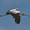 Wood Stork #1<br /> Eddings Creek<br /> St. Helena Island, SC