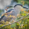 Black-crowned Night Heron #1<br /> Cypress Wetlands<br /> Port Royal, SC