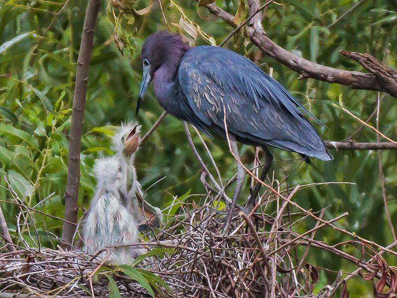 Little Blue Heron and her Chicks #2<br /> Pinckney Island National Wildlife Refuge<br /> Hilton Head Island, SC